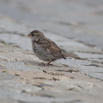 "Sparrow • <a style=""font-size:0.8em;"" href=""http://www.flickr.com/photos/28211982@N07/20171515434/"" target=""_blank"">View on Flickr</a>"