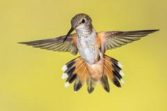 Broad-tailed Hummingbird (adult female) (Eric Gofreed) Tags: arizona hummingbird ngc npc oakcreekcanyon broadtailedhummingbird cocoinocounty