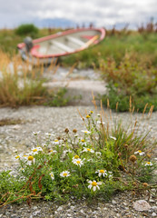 Memory from a wonderful long weekend  (~Ranveig Marie~) Tags: boat robt bt flowers blomster blomst flower wildflowers balderbr summer wild tripleurospermuminodorum asteraceae matricariaperforata mayweed scentlesschamomile wildchamomile falsechamomile germanchamomile baldrsbrow daisy norsk natur norwegian skandinavisk nordisk kurvplantefamilien kurvblomstfamilien korgplantefamilien korgblomstfamilien friluft images pictures photos ranveigmarienesse ranveignesse bokeh dof shell skjell freviga midbrd pics photographs outdoors frevig bilder sigmaart sigmaart1835mm sigma nikon nikond5200 blumen fleurs flores photography eigery eigeroy eigerya frevik