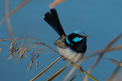 Superb Fairy-Wren (RoosterMan64) Tags: blue bird closeup canon wildlife wren 100400l superbfairywren
