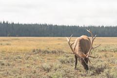 Bull Elk (Kenny C Photography) Tags: animal mammal nationalpark wildlife antlers wyoming elk nationalparkservice wapiti herbivore grandtetonnationalpark bullelk cervuselaphus wildlifephotography maleelk kennycphotography