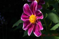 Dahlia (Guy_D_2010) Tags: flower flor blumen blomma quintaflower bunga  blume fiore blomst gul virg hoa bloem lill blm iek  kwiat blodyn   lule kukka d90   cvijet  blth cvet  zieds  gl kvtina kvetina floare  chaumontsurloire languageofflowers   fjura    voninkazo