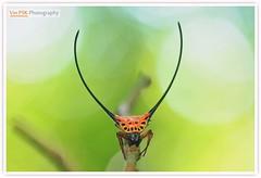 Long Horned Orb Weaver Spider (Vin PSK) Tags: macracanthaarcuata longhornedorbweaverspider