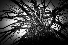 Barking Up The Right Tree (TBrianJones) Tags: trees blackandwhite bw contrast log highcontrast treetrunk bark trunk limbs vignette treelimbs forrests