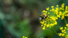 #bee (nick_13_th) Tags: flowers nature nikon bees bee ii 1855mm 1855 vr yallow yall d3300