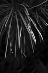 Evergreen texture (Light Orchard) Tags: bw white black tree blanco botanical flora noir negro evergreen botany weiss bianco blanc nero schwarz bruceschneider ©2015lightorchard