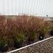 50 Japanese blood grass