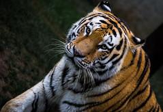 Tigre (Lorenzo Pirotto) Tags: zoo zoom tigre animali animale uccello