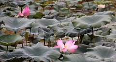 IMG_0452 (singaporeplantslover) Tags: nymphaea 莲花 睡莲 lotus,