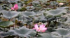 IMG_0452 (singaporeplantslover) Tags: nymphaea   lotus