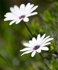 Cape Daisy (robdownunder) Tags: white flower spring purple au australia testing southaustralia hindmarshisland canon70300l metabonesiv a7rii sonya7riiwithefmountlens