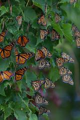 IMG_0517.jpg (erik oosterop) Tags: ontario canada fauna butterfly insect can leamington floraandfauna monarchdanausplexippus