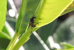 Calliadurgus fasciatellus f - EFN - 28 IX 2015 (el.gritche) Tags: hymenoptera france 40 garden extrafloralnectaries efn prunuslaurocerasus pompilidae caliadurgus fasciatellus caliadurgusfasciatellus wasp guepe