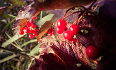 Autumn Berries (Glenn Cartmill) Tags: county uk autumn ireland red leaves fruit canon eos berries unitedkingdom glenn september hedge northernireland northern armagh redberries 2015 countyarmagh cartmill 650d