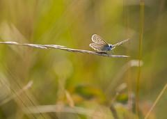 Prt au dcollage (Mariette80) Tags: bokeh papillon argusbleu