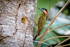 pica-pau-verde-barrado (Colaptes melanochlorus) (Ana Carla AZ) Tags: birds rj aves lugares lidice piciformes picidae picapauverdebarrado colaptesmelanochlorus picapaus