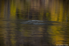 Fall Colors Trip - Water Ring Abstract - 9593 (www.karltonhuberphotography.com) Tags: autumn light lake abstract fall texture nature water beautiful reflections morninglight pond colorful pretty pattern quiet fallcolors details relaxing peaceful calm ring autumncolors silverlake naturephotography goldenlight easternsierra 2015 junelakeloop waterring fishjump fallcolorstrip karltonhuber