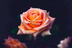 IMG_3930.jpg (Icedavis) Tags: sunset orange minnesota rose garden landscape evening bokeh minneapolis arboretum petal mn chanhassen bokey cmwd cmwdorange