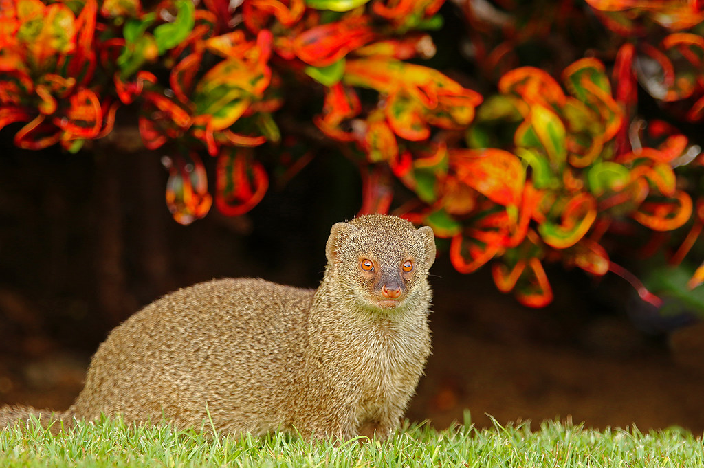 ce218ea6f8 Mongoose At Sunrise - My Favorite (AlaskaFreezeFrame) Tags  mongoose mammal  carnivore hawaii kona