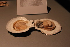 Science World - October 15, 2015 (rieserrano) Tags: scallop bodyworlds plastination