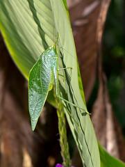 Laubheuschrecke (Eerika Schulz) Tags: leaf ecuador grasshopper katydid heuschrecke grashpfer mindo laubheuschrecke katyd