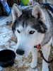 20150131_123050 - 0005 - Winter Days 2015 - Dog Sledding Huskies - [Portfolio Export] (Buckeye Photography) Tags: winter ohio dog husky fuji unitedstates days fujifilm portfolio siberian sled vermilion metroparks x100s