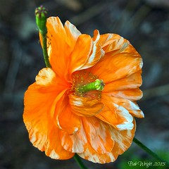 Loud & Proud (Bob.W) Tags: californianpoppy