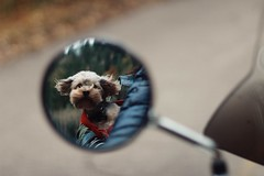 (sophiexzb) Tags: dog reflection cute yorkie puppy drive mirror canyon poodle motorcycle yorkiepoo