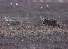Coywolf  pair, Brewster, MA (petertrull) Tags: elements
