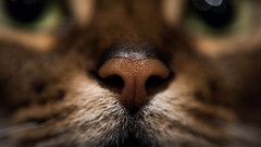 Boop! (MorboKat) Tags: pet macro cute cat mammal nose feline usual abyssinian mammalia domesticcat carnivore purebred ruddy catnose flis carnivora felidae felissilvestriscatus feliscatus purebredcat feliformia ruddyabyssinian felinae purebreed abyssiniancat usualabyssinian
