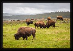 Yellowstone National Park (Rick-Willis) Tags: usa horizontal wyoming totalphoto ononesoftware