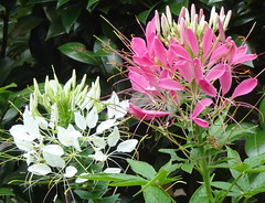 Flowers - pink and white side by side (boeckli) Tags: pink flowers plants white outdoor blossoms pflanze rosa blumen blooms weiss blten cleome spiderflowers wonderfulworldofflowers