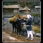 A FARMER AND HIS OX HAULING BAILS OF RICE in OLD JAPAN thumbnail