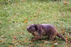 Marmot (Cloudtail the Snow Leopard) Tags: animal munich mnchen mammal zoo marmot tierpark tier hellabrunn murmeltier marmota sugetier