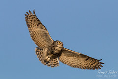 Female Great Horned Owl in fight. Commerce City, Colorado.