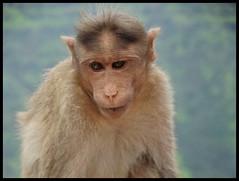 Monkeys at Kate's Point - Mahabaleshwar (indianature13) Tags: katespointmahabaleshwar katespoint maharashtra mahabaleshwar monsoons mountains westernghats indianature india september 2016 needlepoint elephantsheadpoint monkey monkeymahabaleshwar