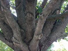 Tree Trunk. (dccradio) Tags: lumberton nc northcarolina robesoncounty afternoon walk outdoors bark tree trees trunk twisted greenery