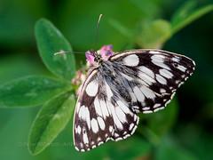 Marbled White - Melanargia galathea, France (ArtFrames) Tags: aude france marbledwhitemelanargiagalathea