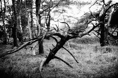 Things lurking in the wood... (Diaffi) Tags: wood dead tree analog minolta xd7 ishootfilm film selfdeveloped series kodaktrix iso400 wald