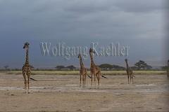 10076060 (wolfgangkaehler) Tags: 2016africa african eastafrica eastafrican kenya kenyan amboseli amboselikenya amboselinatlparkkenya amboselinationalpark wildlife mammal giraffe giraffes giraffacamelopardalistippelskirchi