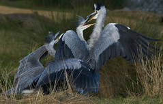 Mum being mobbed by hungry kids (paulinuk99999 - just no time :() Tags: paulinuk99999 grey heron mother chicks juvenile hungry mobbed sal70400g