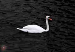 Schwan auf der Mosel - Metz - France (Real_Aragorn) Tags: schwan swan mosel moselle metz france