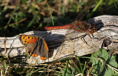 moment of truce (bugman11) Tags: butterfly butterflies bug bugs insect insects fauna dragonfly dragonflies animal animals canon macro 100mm28lmacro nature nederland thenetherlands 1001nightsmagiccity 1001nights thegalaxy