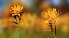 Flowers autumn. (augustynbatko) Tags: flowers autumn macro rudbekia plants outdoor bokeh