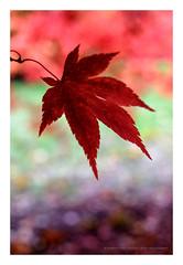 SLP16-3028 (andypage7) Tags: westonbirt westonbirtarboretum autumn foliage nature
