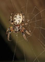 Furrow Spider (NOT Marbled Orbweaver) (cotinis) Tags: arthropoda spider arachnida araneae araneidae northcarolina piedmont arachtober canonefs60mmf28macrousm larinioides furrowspider larinioidescornutus furroworbweaver