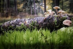Tiny World (NatureArt by Wolfgang) Tags: pilze moos wald boden tannenzapfen moss forest autumn herbst fall sigma dp2