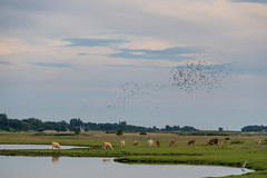 Cows (Infomastern) Tags: skanr bird cloud cow landscape landskap sky exif:model=canoneos760d geocountry camera:make=canon exif:isospeed=160 camera:model=canoneos760d geostate geocity exif:focallength=135mm exif:lens=efs18200mmf3556is geolocation exif:aperture=56 exif:make=canon skanr
