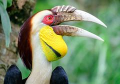 Male Wreathed Hornbill (Aceros undulates), Bali zoo, Indonesia (Maria_Globetrotter) Tags: 2016 fujifilm indonesia mariaglobetrotter dscf3176 tele closeup portrait eye bird animal eyelashes colorful neushoornvogel gewonejaarvogel hornbill