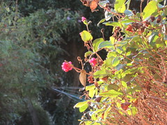 Wednesday, 5th, Catching the morning sun IMG_7827 (tomylees) Tags: essex morning autumn october 2016 5th wednesday honeysuckle sunshine garden